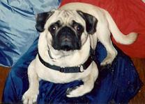 Brutus the Pug